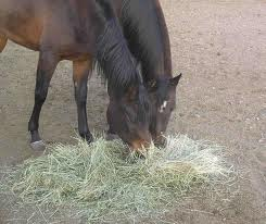 can guinea pigs eat horse hay