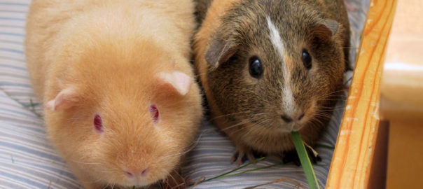 where do guinea pigs come from