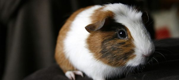 why do guinea pigs growl